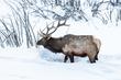 IMG_1962 Foraging Elk BNP.jpg