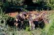 WILD DOGS IMG_9085.jpg