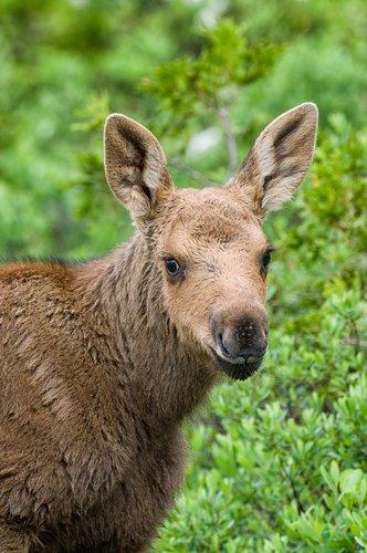 Baby Moose-2.jpg