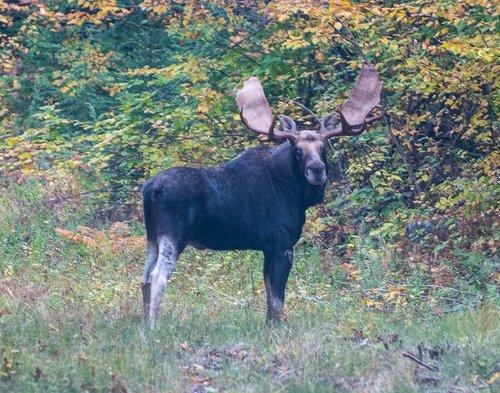 Bull Moose-1.jpg