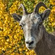 Bighorn Sheep 3.jpg