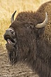 Buffalo 1.jpg