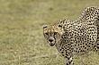Cheetah 3.jpg