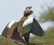 Egyptian Geese 2.jpg