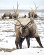 Elk 006-7e2c4.jpg