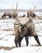 Elk 006.jpg