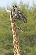 Giraffes 12.jpg