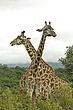 Giraffes 3.jpg
