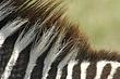 Zebra 10.jpg