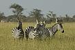 Zebra 11.jpg