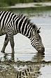 Zebra 12.jpg