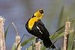 Blackbird-Yellow-headed-06-FJBergquist.jpg
