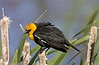 Blackbird-Yellow-headed-07-FJBergquist.jpg