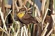 Blackbird-Yellow-headed-14-FJBergquist.jpg