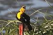 Blackbird-Yellow-headed-20-FJBergquist.jpg