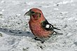 CROSSBILL WHITE-WINGED-002-FJBergquist-2.jpg