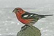 CROSSBILL WHITE-WINGED-004-FJBergquist.jpg