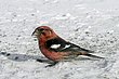 CROSSBILL WHITE-WINGED-005-FJBergquist.jpg
