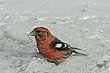 CROSSBILL WHITE-WINGED-006-FJBergquist-2.jpg