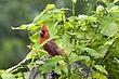 Cardinal-Northern-15-FJBergquist.jpg
