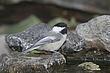 Chickadee-Black-capped-09-FJ-Bergquist.jpg