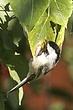 Chickadee-Black-capped-10-FJ-Bergquist.jpg