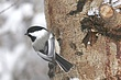 Chickadee-Black-capped-15-FJ-Bergquist.jpg