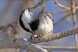 Chickadee-Black-capped-19-FJ-Bergquist.jpg