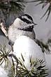 Chickadee-Mountain-13-FJ-Bergquist.jpg