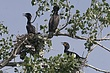 Cormorant-Double-crested-07-FJBergquist.jpg