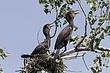 Cormorant-Double-crested-10-FJBergquist.jpg