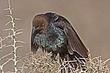 Cowbird-Brown-headed-04-FJ-Bergquist.jpg
