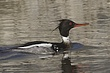 DUCKMERGANSER RED-BREASTED-009-FJBergquist.jpg