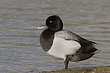 DUCk.SCAUP LESSER-001-FJBergquist.jpg