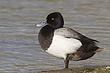 DUCk.SCAUP LESSER-002-FJBergquist.jpg