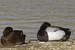 DUCk.SCAUP LESSER-003-FJBergquist.jpg