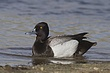 DUCk.SCAUP LESSER-006-FJBergquist.jpg