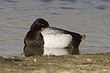 DUCk.SCAUP LESSER-008-FJBergquist.jpg