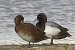 DUCk.SCAUP LESSER-009-FJBergquist.jpg