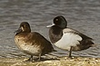 DUCk.SCAUP LESSER-012-FJBergquist.jpg