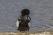 DUCk.SCAUP LESSER-017-FJBergquist.jpg