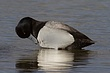 DUCk.SCAUP LESSER-019-FJBergquist.jpg