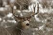 Deer-Mule-009-FJBergquist.jpg