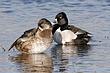 Duck-Ring-necked-08-FJBergquist.jpg