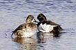 Duck-Ring-necked-09-FJBergquist.jpg