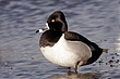 Duck-Ring-necked-10-FJBergquist.jpg