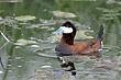 Duck-Ruddy-05-FJBergquist.jpg