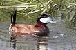 Duck-Ruddy-06-FJBergquist.jpg