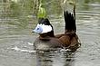 Duck-Ruddy-11-FJBergquist.jpg