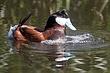 Duck-Ruddy-22-FJBergquist.jpg